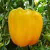 ชุดปลูกพริกหวานออแกนิกส์ (Capsicum Frutescens )