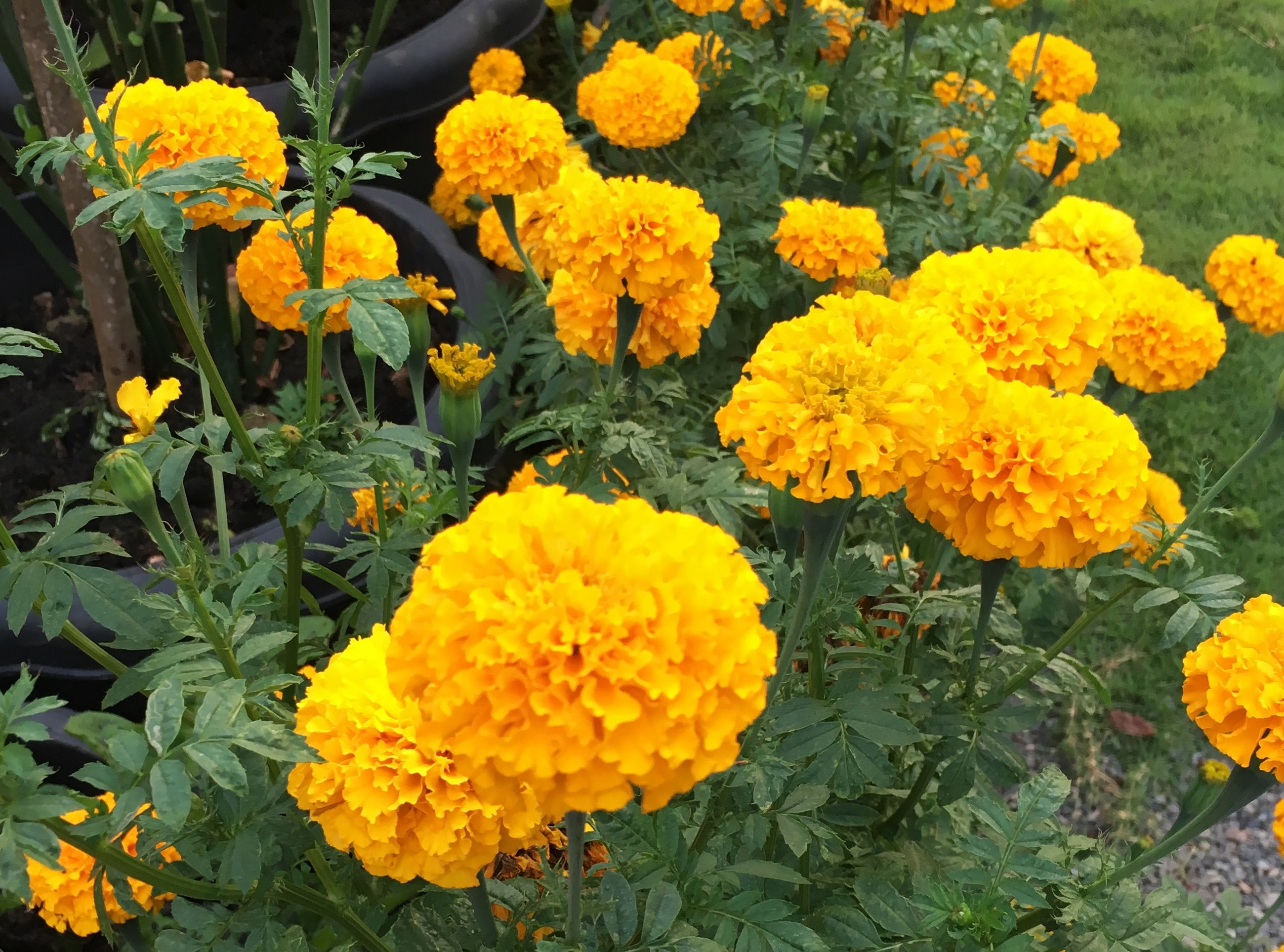ชุดปลูกดอกดาวเรือง Marigold ออแกนิกส์
