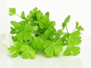เมล็ด Celery (ขึ่นฉ่ายฝรั่ง) microgreens