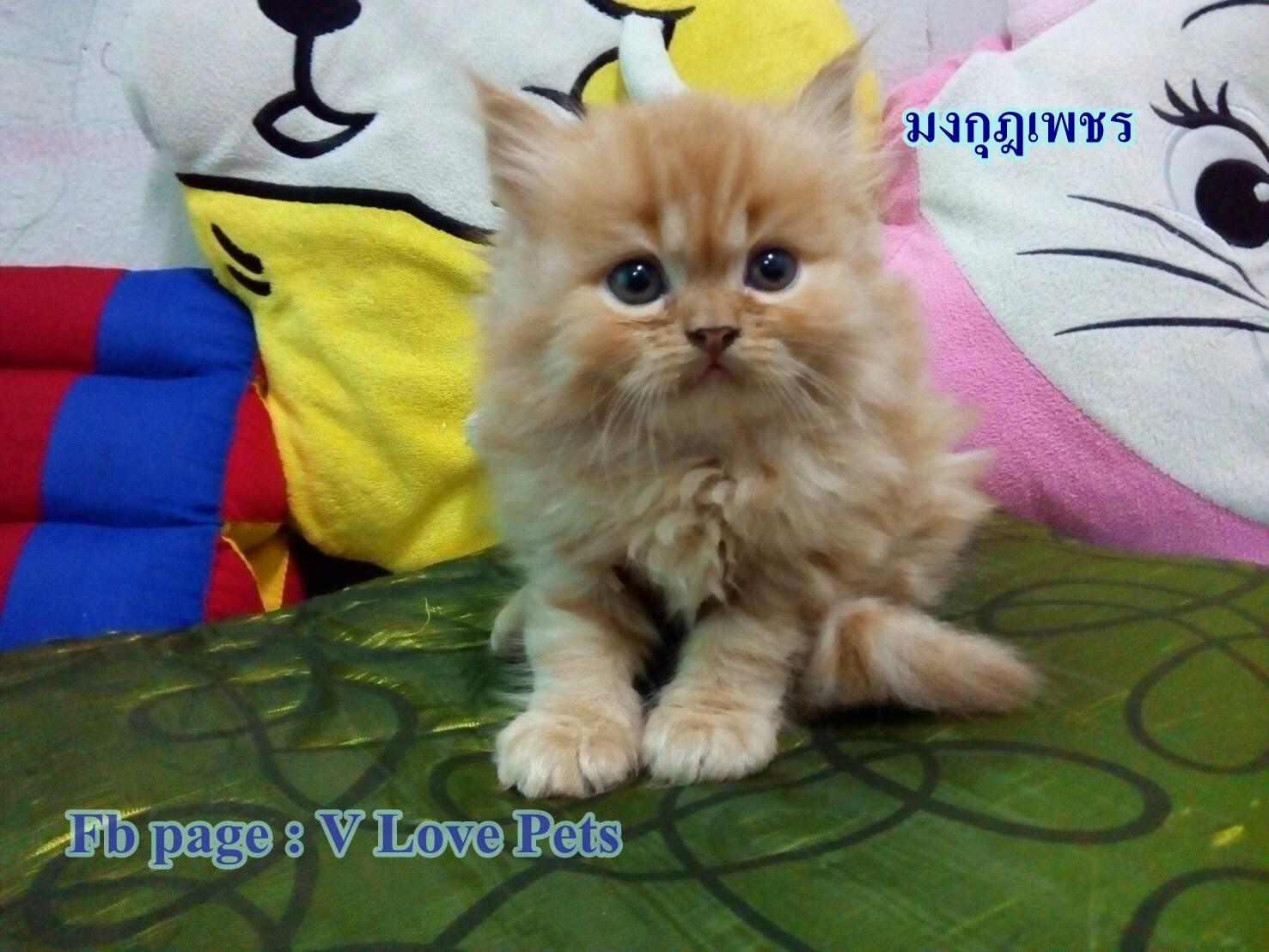 น้องแมวเปอร์เซียแท้ สีส้ม Name มงกุฎเพชร