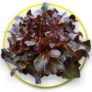 เรคโอ๊ค Red Oak (50 เมล็ด)