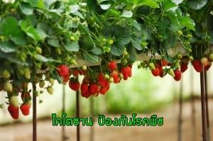 ไคโตซาน,ไคโตซาน เปลือกกุ้ง,ไคโตซานราคา,ไคโตซานคืออะไร,ไคโตซานคุณสมบัติ,ไคโตซานกับพืช,ไคโตซานกุ้ง,โรคพืช,แมลงศัตรูพืช,ผักปลอดสาร,เกษตรอินทรีย์,ไตรโคเดอร์มา,เมธาไรเซียม,บิวเวอร์เรีย,พาซิโลมัยซิส,บีที,บีเอส