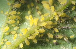 สารเคมีกำจัดแมลง,แมลงหวี่ขาว,เพลี้ยไฟ,เพลี้ยอ่อน,ปลวก,ด้วง,หนอน,อิมิดาคลอพริด,imidacloprid