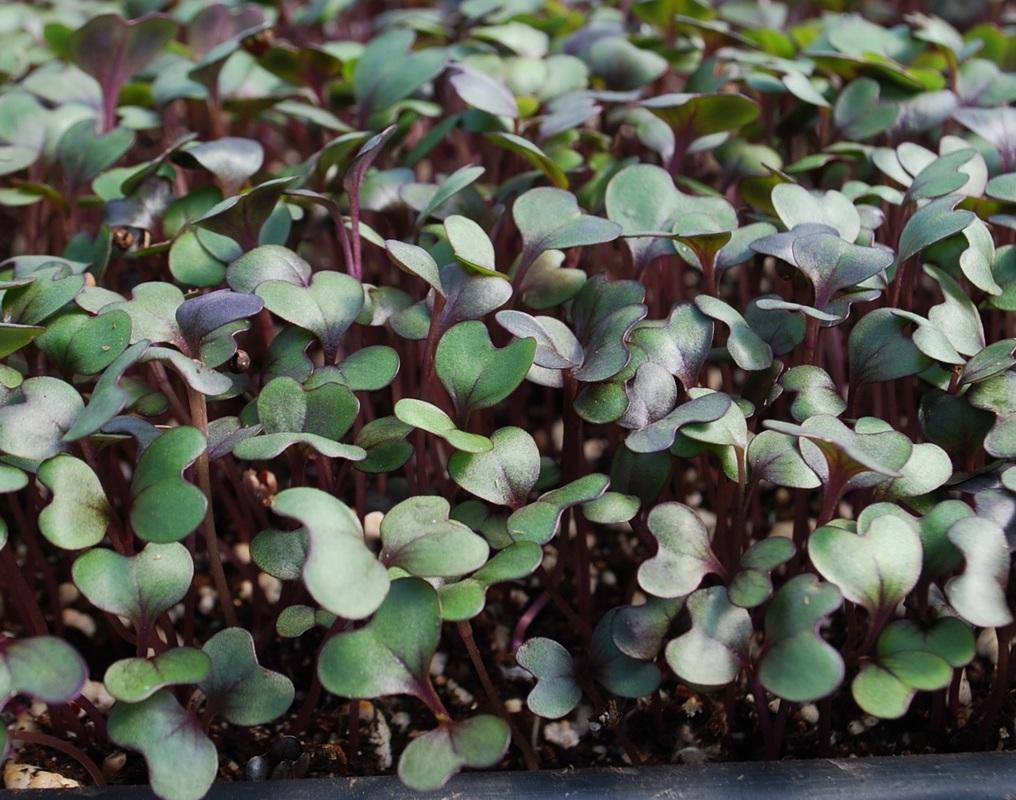 เมล็ด Red Cabbage Microgreens