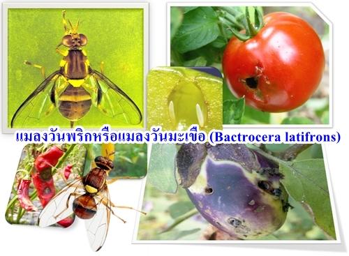 ยากำจัดแมลงวันทอง,สารล่อแมลงวันทอง,วงจรชีวิตแมลงวันทอง,วิธีกำจัดแมลงวันทองมะม่วง,แมลงวันผลไม้,โรคพืช