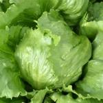 ผักกาดแก้ว (Green Ice Crisphead) 50 เมล็ด