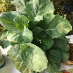 เมล็ดคะน้ายอด Chinese Kale