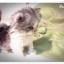 แมวเปอร์เซียหน้าตุ๊กตา thumbnail 3