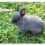 แก๊ง Netherland Dwarf กระต่ายพันธุ์เล็ก thumbnail 3