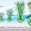 เชื้อราไตรโคเดอร์มา ชนิดน้ำ ป้องกันโรคพืช thumbnail 9