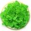 กรีนโอ๊ค Green Oak (50 เมล็ด) thumbnail 1
