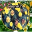 หัวเชื้อแบคทีเรีย บาซิลลัส โปร กำจัด ทำลายโรคพืช thumbnail 15