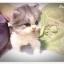 แมวเปอร์เซียหน้าตุ๊กตา thumbnail 2