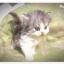 แมวเปอร์เซียหน้าตุ๊กตา thumbnail 5