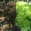 เรคโอ๊ค Red Oak (50 เมล็ด) thumbnail 2