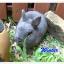 แก๊ง Netherland Dwarf กระต่ายพันธุ์เล็ก thumbnail 2
