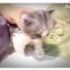 แมวเปอร์เซียหน้าตุ๊กตา thumbnail 4