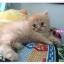 น้องแมวเปอร์เซียหน้าตุ๊กตา thumbnail 13