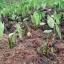 ลาวา สารชีวภัณฑ์กำจัดโรครากและโคนเน่าในพืช thumbnail 11