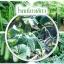 หัวเชื้อแบคทีเรีย บาซิลลัส โปร กำจัด ทำลายโรคพืช thumbnail 13