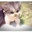 แมวเปอร์เซียหน้าตุ๊กตา thumbnail 1