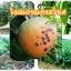 หัวเชื้อแบคทีเรีย บาซิลลัส โปร กำจัด ทำลายโรคพืช thumbnail 8