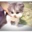 แมวเปอร์เซียหน้าตุ๊กตา thumbnail 6