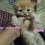 น้องแมวเปอร์เซีย thumbnail 3