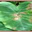 แบคทีเรีย บาซิลลัส ซับทีลิส thumbnail 9