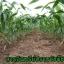 ไกลโฟน่า เอ็กตร้า สารอินทรีย์กำจัดวัชพืช thumbnail 9