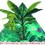 เชื้อราไตรโคเดอร์มา(ชนิดผงแห้ง)ชีวภัณฑ์ป้องกันโรคพืช thumbnail 11