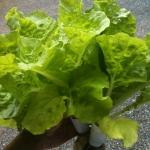 เมล็ดผักกาดขาวไดโตเกียว (Tokyo Bekana)