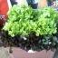 กรีนโอ๊ค Green Oak (50 เมล็ด) thumbnail 2