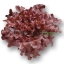 เมล็ดพันธุ์ Red Oak (เคลือบ) 100 เมล็ด thumbnail 2